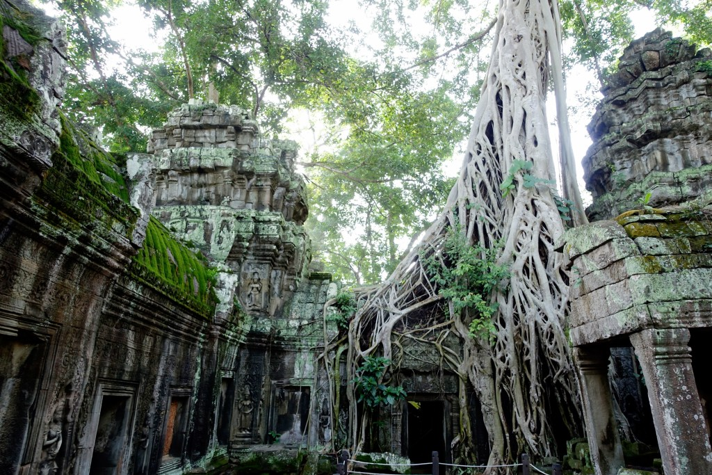 All tangled up at Ta Prohm