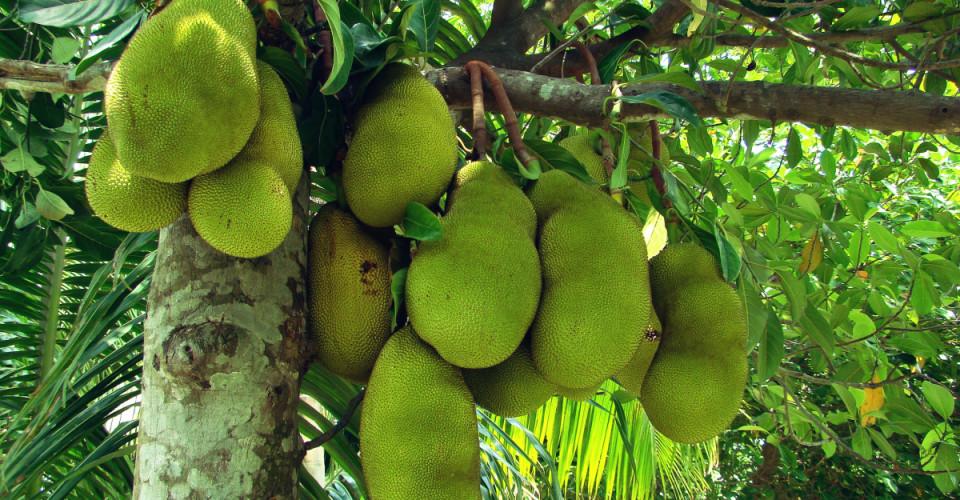 Jackfruit, anyone? Photo: By Shahnoor Habib Munmun (Own work) [CC BY 3.0]