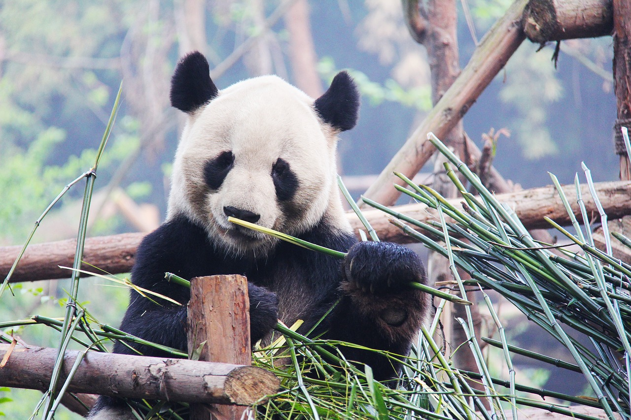 A hungry resident of the Chengdu Research Base for Giant Panda Breeding.