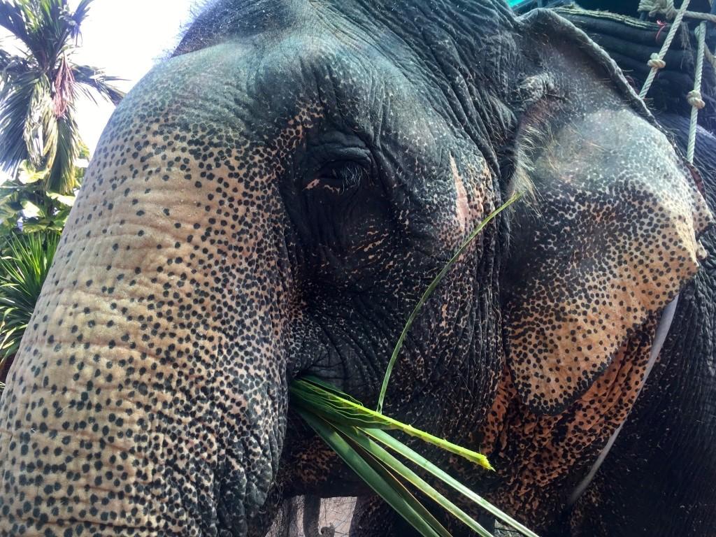Koh Samui Elephant