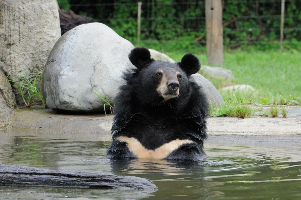 Jasper the black bear, Animals Asia