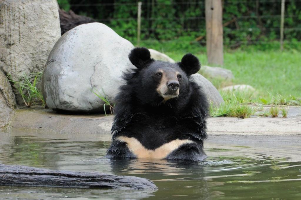 Jasper the black bear, Animals Asia