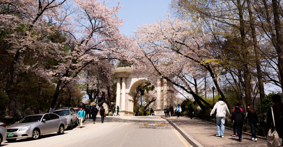 Seoul Cherry Blossoms. Photo: Edi Ding/Flickr CC