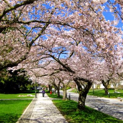 Catch the Vancouver Cherry Blossom Festival