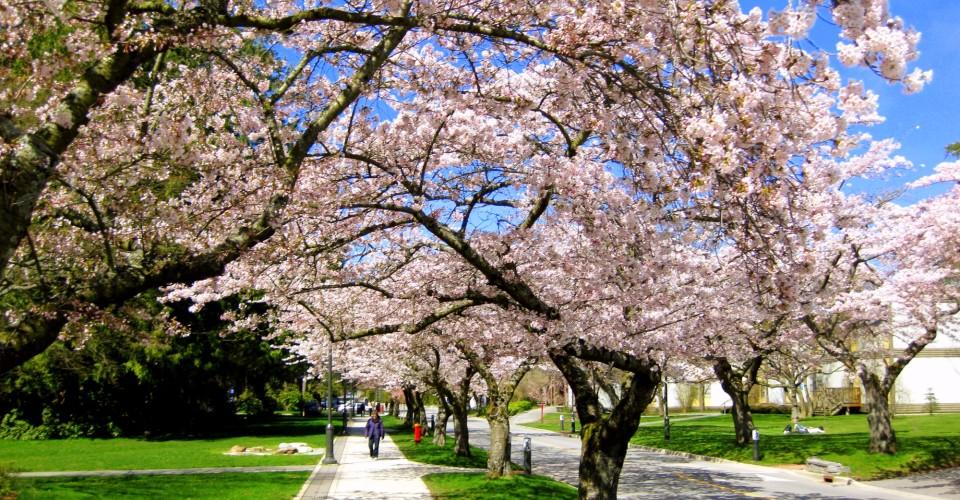 Vancouver Cherry Blossom Festival. Photo: Jamesz/Flickr
