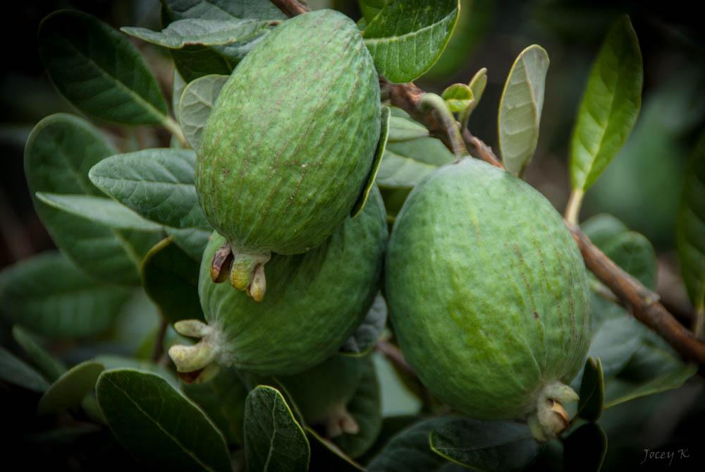 Feijoa. Jocelyn Kinghorn/Flickr CC