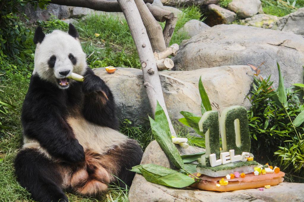 Panda Le Le