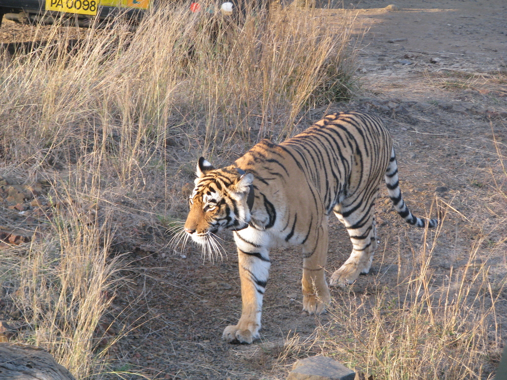 An elusive Bengal Tiger makes an appearance at Ranthambore, one of India's best national parks. Photo: Devesh Jagatram / Flickr CC