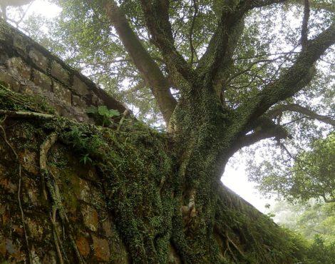 Hong Kong's Decades-Old Banyan Trees