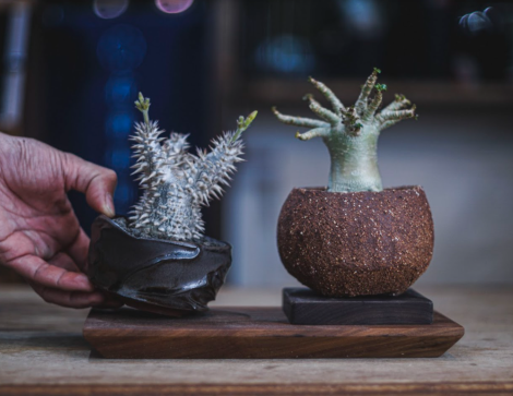 Caudex and Succulents Market at D2 Place: March 26-28